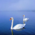 SWANS IN THE MIRROR IIF #1